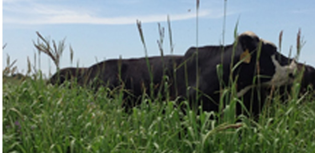Cattle grazing cover crops.