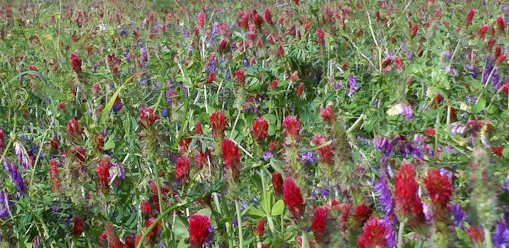Cover crops in bloom