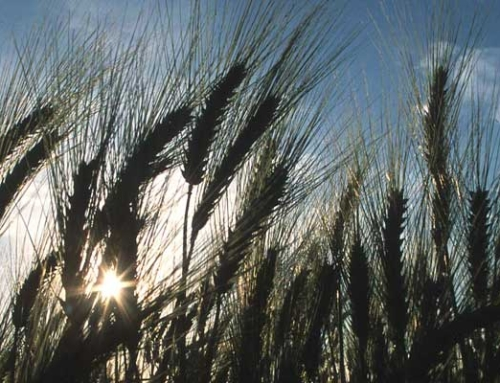 More extreme weather could mean less wheat for Kansas